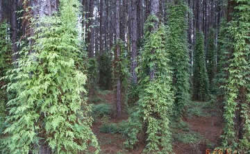 PHOTO 4: Japanese climbing fern (Lygodium japonicum) invasion in northwest Florida pine plantation.