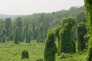 PHOTO 5: Kudzu (Pueraria montana var. lobata) invasion in the Eastern United States.