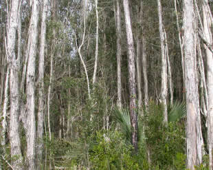 PHOTO 6: Melaleuca (Melaleuca quinquenervia) invasion in Southwest Florida pine flatwoods.