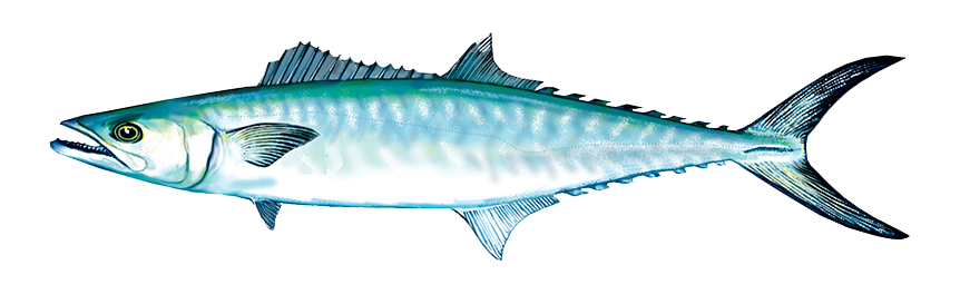 King Mackerel / Seafood Products / Buy
