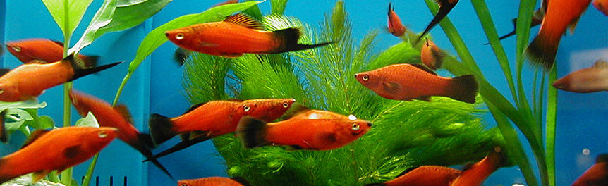 Ornamental fish and invertebrates aquaculture business for Ornamental pond fish types