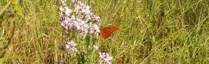 Butterfly on Wildflowers at Wakulla State Forest