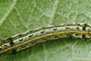 Rice cutworm
