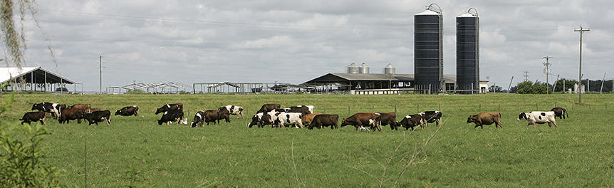 Cows in a field with silos in the background