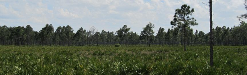 Open Field with Palmettos and Pines