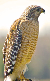 Photo: Red Shouldered Hawk