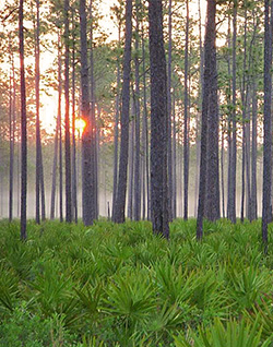 PHOTO: Cary State Forest flatwoods through a foggy sunset.
