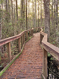 PHOTO: Cary Nature Trail Boardwalk winds through a cypress swamp.