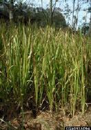 Photo: Cogon grass