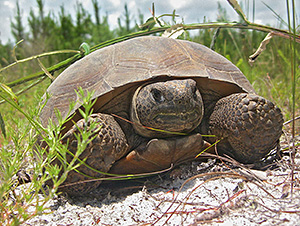 Picture: Gopher tortoise