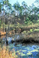 Photo: Wetlands in Tiger Bay State Forest.