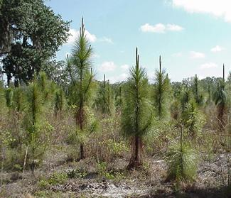 Photo: Young loblolly pines