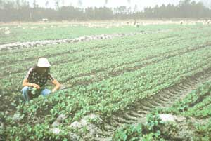Person inspecting crop